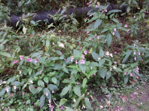 Lynwoods Building Consultancy Survey Report Himalayan Balsam