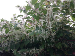 Lynwoods Building Consultancy Survey Report Japanese Knotweed